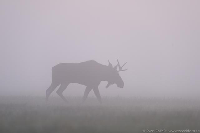 © Sven Začek - Põder tuli roosasse. Udune hommik luhal. Põdrapull longib udus, hall maastik, lõpuks jõudis välja paika, kus koditaevas udu värvis, õrnad toonid jäädvustusid koheselt. Siis jalutas tagasi halli uttu. Nikon D810A + Nikkor 400mm F2,8 VR FL + Nikkor
