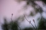 © Sven Začek - lõopistrikud roosa hommikupilve taustal. Sellisel teleobjekiiviga tehtud fotol kippusid tavakaamera puhul õrnad roosad toonid kaduma. D810A on need jäädvustanud ja talletanud ka eriti õrna ülemineku seal, kus värviline pilv lõpeb. Nikon D810A + Ni