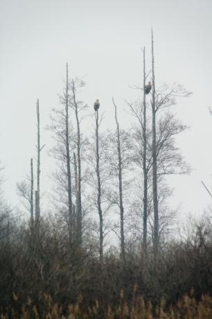 © Triin Leetmaa -  Kaks merikotka vanalindu uduvihmas. Ligi 700 m kauguselt tehtud pildilt on linnud määratavad. Vertikaalset kompositsiooni võimaldas kasutada FSA-L2 adapteri keeramismehhanism. Nikon D800, EDG 85A + FSA-L2 @1750 mm; F21; 1/3s; ISO100