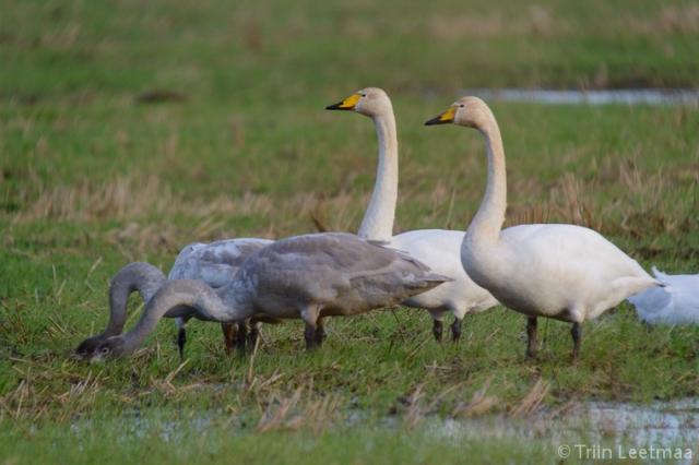 © Triin Leetmaa -  Благодаря зрительной трубе можно сфотографировать обедающих лебедей-кликунов с расстояния ста метров, не нарушая их спокойствия Nikon D800, EDG