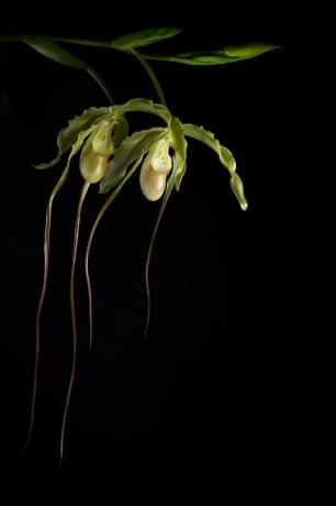 © Ave Kruusel -  Phragmipedium caudatum x longifolium