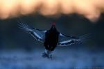 © Sven Začek -  Terav lennufoto enne päikesetõusu. ISO 8000-ga saab D5-ga lausa ilupilte. Vaadake ka 100% väljalõiget. Nikon D5 + Nikkor 400mm F2,8 VR FL + Nikkor TC-14EIII. F4, 1/1000, ISO 8000.