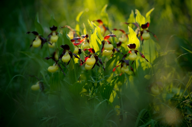 © Aivar Pihelgas -  105mm f/2.8 makroobjektiiviga pildistades jääb taust ja esiplaan väga ebateravad ja õite ilu tuleb tagantvalgusega hästi esile.