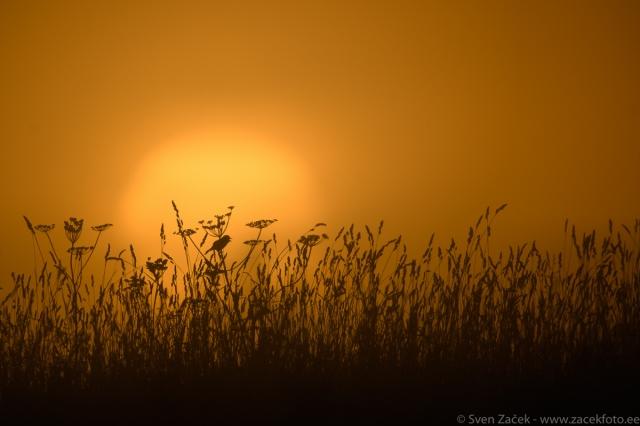 © Sven Začek -  Ood päikesele. Kadakatäksi lauluharjutused udust tõusva päikese taustal. ISO 100 puhul on üleminekud eredalt päikeselt mahedale udule väga ühtlased. Nikon D500 + Nikkor 400mm F2,8 VR FL + Nikkor TC-20EIII. F5,6, 1/2500, ISO 100.